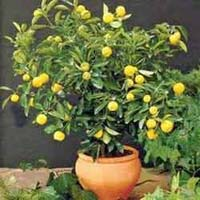 Citrus Bonsai Tree