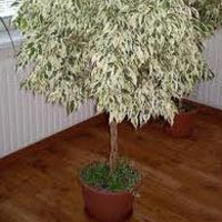 Ficus Benjamina Plant in Kolkata - Manufacturers and Suppliers India