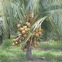 Malayan Yellow (dwarf)-coconut Plant
