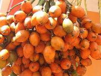 Ripe Areca Nuts