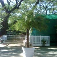 Phoenix Palm Plants