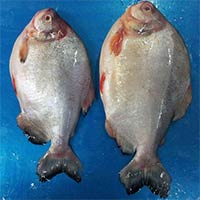 Frozen Farm Raised Pomfret