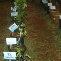 Evergreen Ayurvedic Plants