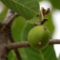 Mahua ( Madhuca Longifolia Var Latifolia ) Oil