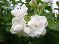 Fresh Jasmine Flower (01)