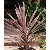 Red Sensation Cordyline Australis Plants