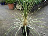 Torbay Cordyline Australis Plants