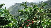 arabica plantation coffee seeds