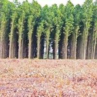 Clone Eucalyptus Plantation