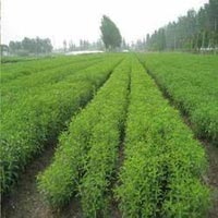Stevia Cultivation Consultancy