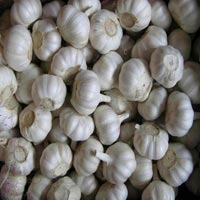 Fresh Garlic - Ammar & Muaz