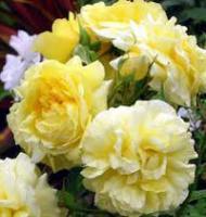 Fresh White Rose