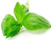 Basil Extract