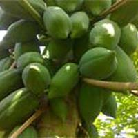 Green Berry Variety Papaya Plants