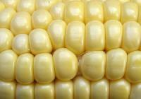 Sweet Corn Cobs