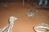 Emu Birds 02