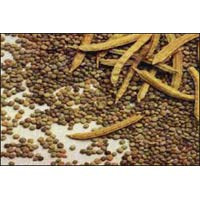 Guar Gum Seeds - Manufacturer, Exporters and Wholesale Suppliers,  Gujarat - Bhagyoday Rice & Pulse Mill