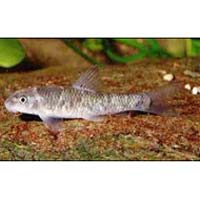 Garra Mullya Fish