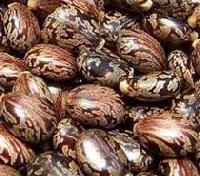 Castor Seeds (02)