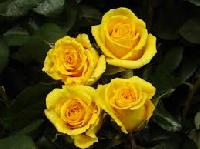gold strike roses