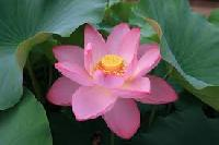 Land Lotus Flower