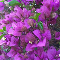 Bougainvillea Shrub Plant