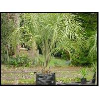 Butia Palm