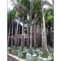 Foxtail Palm Plants