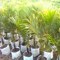Nypsis Dycary Palm Plants