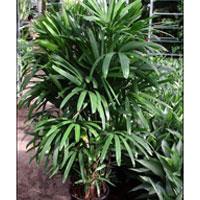 Rhapis Excelsa Palm Plants