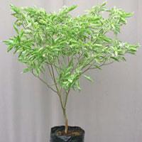 Tagar Variegata Shrub Plant
