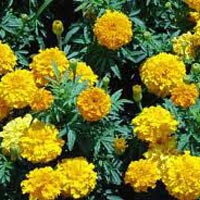 Marigold Flowers (sendu Malli)
