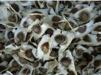 Moringa Oleifera Seeds