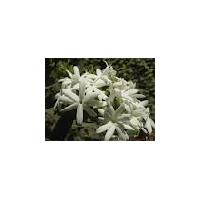 Mullai Flower
