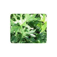 Philodendron Plants