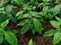 Adulsa Leaves Powder