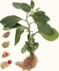 Ashwagandha Powder (withania Somnifera)