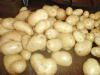 Fresh White Potato