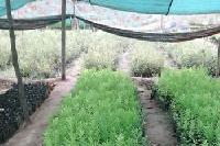 Agro Forestry Plants