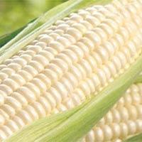 White Corn Grade 2