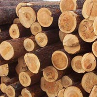 Radiata Pine Wood Logs
