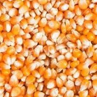 Corn / Maize Seeds