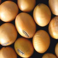 Soyabean Seed