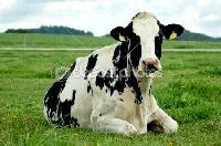 Holstien Friesian Cows