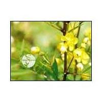 Cassia Angustifolia - (senna)