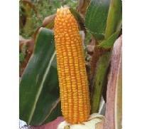 Hybrid Maize