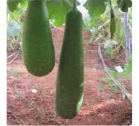 Hybrid Bottle Gourd Seeds