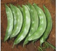 Hybrid Dolichos Seeds