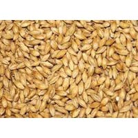 Indian Barley