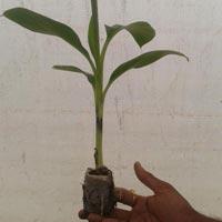 Tissue Banana Plants